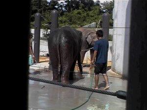 沖縄こどもの国にて暑すぎて飼育員さんに水をかけてもらう像