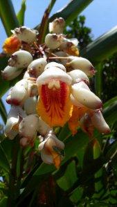 サンニン(月桃)の花